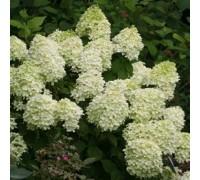 Карликовый кустарник-Гортензия метельчатая LITTLE LIME
