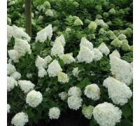 Гортензия метельчатая PRIM WHITE -раннецветущий сорт