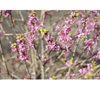 Волчеягодник обыкновенный f. alba как украшение сада